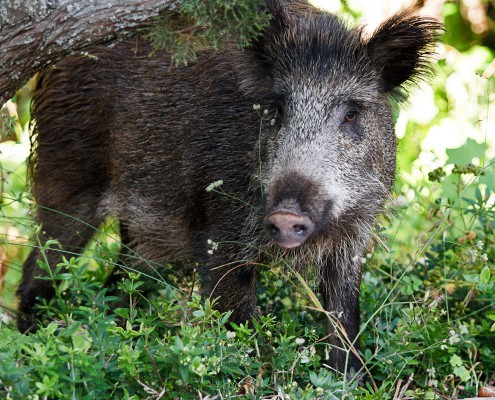 Die Schäden im Gras zwischen den Rebstöcken sind deutlich zu sehen. Hier waren Wildschweine am Werk. Der Boden ist an mehreren Stellen  Aufgebrochen. Die ungebetenen Gäste waren vom Wald gekommen, wohl auf der Suche nach Engerlingen und Würmern.