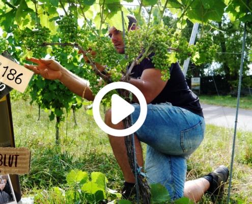Es ist viel passiert auf dem Weingut. Drei mal Blätter ab, Traktor Rettungsaktion, und die Presse war bei uns. Und noch einiges mehr, schau dir den Vlog an dann bist du auf dem laufenden.