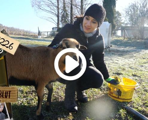 Die Schafe haben Hunger und brauchen frisches Gras. Sie bekommen eine Extra grosse Weide und das braucht viel Witz, Humor und schönes Wetter. Los geht's!!!